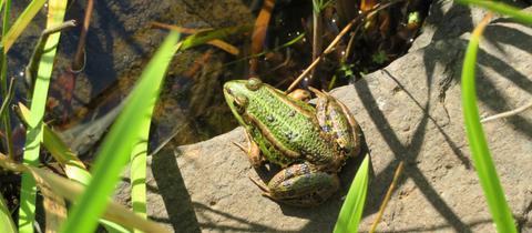 """""""Ein Teichfrosch beim Sonnenbad an einem der unzähligen Teiche bei Romrod im Vogelsberg"""", schreibt hessenschau.de-Nutzerin Cornelia Eltzner zu ihrem Foto."""
