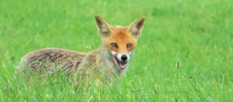 Diesen Fuchs hat hessenschau.de-Nutzerin Cornelia Eltzner aus Romrod (Vogelsberg) bei der Mäusejagd beobachtet und abgelichtet, wie sie uns schreibt.