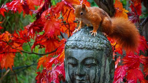 Ein Eichhörnchen sitzt in einem herbstlichen Garten auf einer Buddha-Statue.