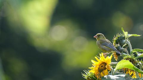 """""""Ein Grünfink im strahlenden Sonnenschein auf einer Sonnenblume im Stadtpark Wieseckaue in Gießen"""", beschreibt hessenschau.de-Nutzer Janis Cloos seinen tierischen Schnappschuss."""