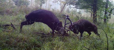 Die spektakuläre Aufnahme von zwei Hirschen beim Brunftkampf ist hessenschau.de-Nutzer Kurth Orth bei Laubach gelungen. Haben Sie auch ein außergewöhnliches Bild aus Hessen? Dann schicken Sie uns Ihr Foto an foto@hessenschau.de.