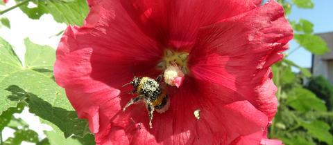 Momentaufnahme Hummel Blütenstaub