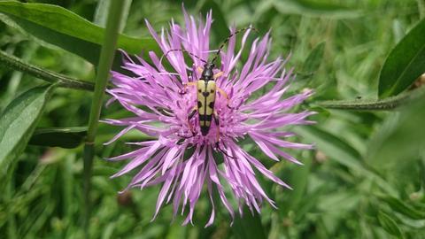 """""""Diesen außergewöhnlichen Käfer habe ich beim Spaziergang in den Schwalmwiesen in Ziegenhain (Schwalm-Eder) auf der Wiesenflockenblume entdeckt"""", schreibt uns hessenschau.de-Nutzerin Kornelia Montanus zu ihrem Foto."""