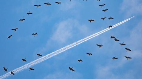 Kraniche ziehen am Reformationstag am Himmel über Frankfurt hinweg, an dem auch ein Verkehrsflugzeug einen Kondesstreifen hinter sich herzieht. Haben Sie auch ein außergewöhnliches Bild aus Hessen? Dann schicken Sie uns Ihr Foto an foto@hessenschau.de.