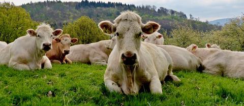 Kühe mit Frisur
