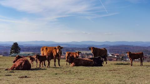 Kühe auf einer Weide bei Frankenau