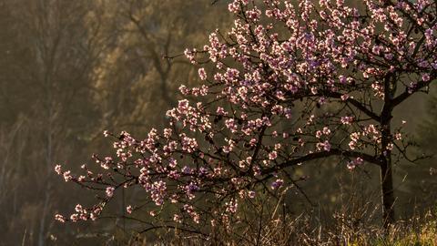 Momentaufnahme Mandelblüte
