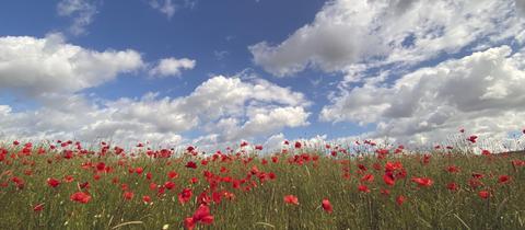 Das Mohnblumen-Feld hat hessenschau.de-Nutzer Manfred Bock bei schönem Wetter nahe Marburg mit seiner Kamera eingefangen.