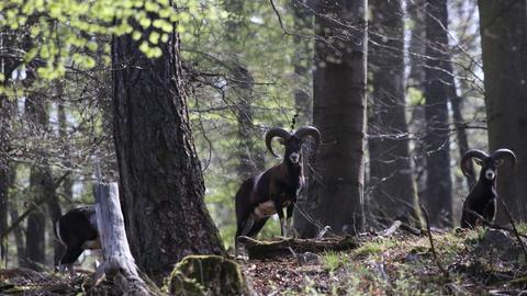 Diese neugierigen Mufflons im Wald bei Wolzhausen (Marburg-Biedenkopf) hat hessenschau.de-Nutzer Klaus Baron mit seiner Kamera eingefangen.