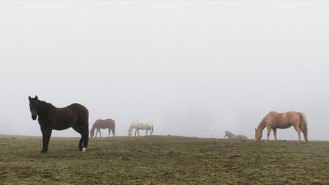 """""""Im frühmorgendlichen Nebel grasen diese Pferde und genießen ihr Frühstück"""", schreibt uns hessenschau.de-Nutzerin Ilona Nickel aus Siegbach-Tringenstein (Lahn-Dill) zu Ihrem Foto."""