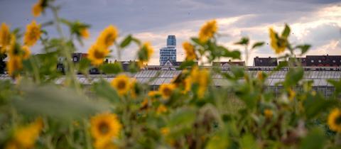 """Momentaufnahme - """"Neuer"""" Henninger Turm mit Sonnenblumen"""