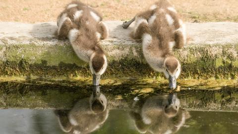 Zwei Nilgangsbabys trinken aus einem Teich im Frankfurter Zoo