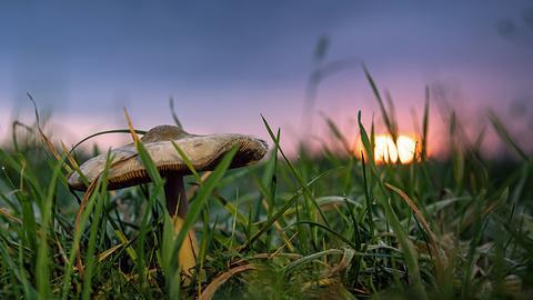 Pilz im Sonnenaufgang