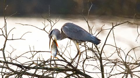 Graureiher frisst einen Fisch