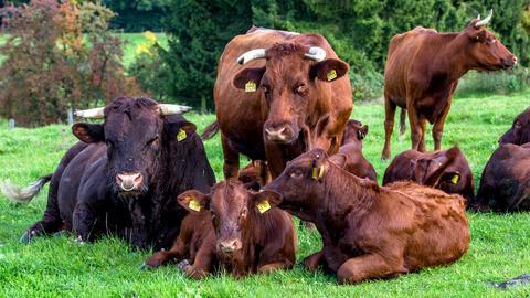 Momentaufnahme - Rinder Familie