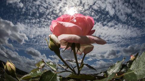Eine Rose auf einem Feld in Steinfurth. Seit fast 150 Jahren werden in dem Ortsteil von Bad Nauheim Rosen angebaut und in alle Welt verschickt.