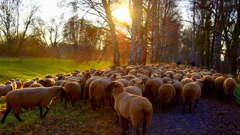 Eine Herde Schafe genießt die vorabendliche Herbstsonne am Erlensee bei Kirchhain (Marburg-Biedenkopf).