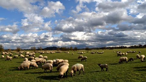 Schafe auf einer Weide im Ohmtal