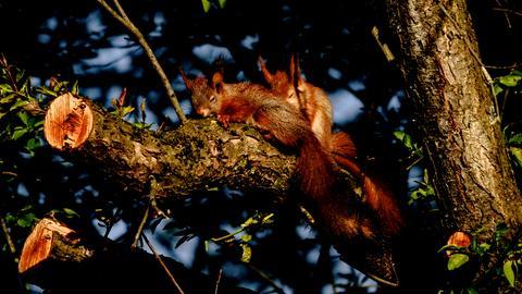 Momentaufnahme - Schlafende Eichhörnchen