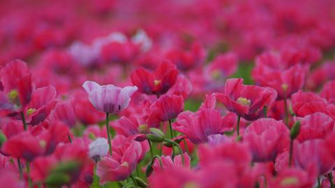 Momentaufnahme Schlafmohnblüte