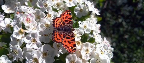 Den Schmetterling hat hessenschau.de-Nutzerin Kornelia Montanus bei einem Spaziergang in Steinatal (Willingshausen) fotografiert. Haben Sie auch ein außergewöhnliches Bild aus Hessen? Dann schicken Sie uns Ihr Foto – wir freuen uns über Ihre Momentaufnahme.