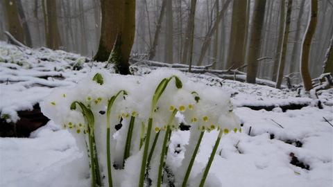 Im Hessischen Kegelspiel schneit es in den höheren Lagen. Die längst erblühten Märzenbecher sind dadurch geschmückt.