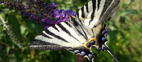 Den schönen Segelfalter hat hessenschau.de-Nutzer Steffen Ziesen aus Lorch fotografiert. Haben Sie auch ein außergewöhnliches Bild aus Hessen? Dann schicken Sie uns Ihr Foto – wir freuen uns über Ihre Momentaufnahme.
