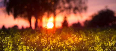 Sonnenuntergang im Rapsfeld