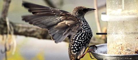 Ein Star an einem frei hängenden Futtersilo. Die beeindruckende Aufnahme des Vogels machte hessenschau.de-Nutzerin Anne Seyfarth. Haben Sie auch ein außergewöhnliches Bild aus Hessen? Dann schicken Sie uns Ihr Foto an foto@hessenschau.de.
