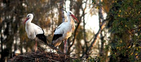 Ein Foto von einem Storchenpaar, aufgenommen von hessenschau.de-Nutzer Matthias Grund