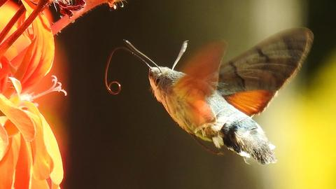Ein Nachtfalter mit kleinem Rüssel im Flug vor einer Blüte