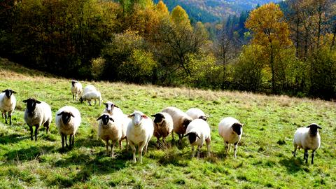 Momentaufnahme Schafe