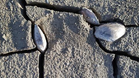 Muscheln stecken in Erdspalten auf dem trocken liegenden Grund des Diemelsees.