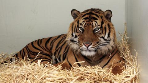 Neuer Tiger Frankfurt Zoo Tiere