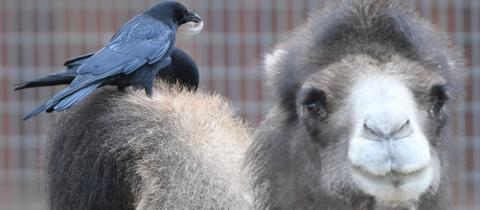 "Trampeltier ""Arya"" ist ins Kamelgehege im Frankfurter Zoo gezogen."