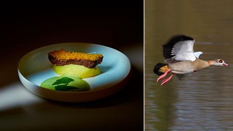 Die Bildkombination zeigt eine abendliche Mahlzeit mit Nilgans und ein Foto einer fliegenden Nilgans.