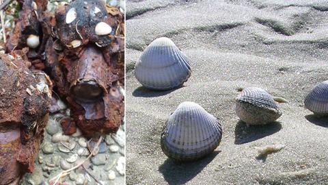 Nordsee-Souvenir und Strand mit Muscheln