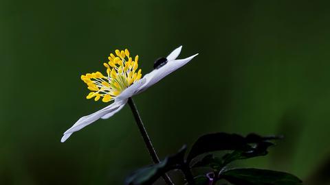 Ein Käfer sitzt auf einer weißen Blume.