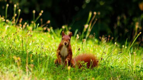 Kleines Eichhörnchen sitzt auf einer Wiese