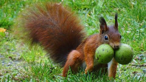 Ein Eichhörnchen mit zwei Walnüssen im Maul.