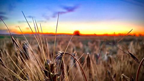Getreidefelder bei Wiesbaden-Erbenheim