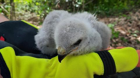 Ein Baby-Greifvogel sitzt auf einer Hand