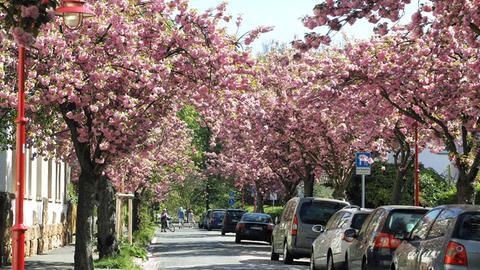 Japanische Kirschen blühen in Marburg