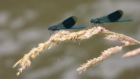 Zwei Libellen