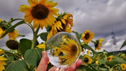 """""""Sonnenblumen einmal durch die Glaskugel betrachtet"""" - so nennt Günther Appich sein Foto, das er in Gründau-Rothenbergen aufgenommen hat."""