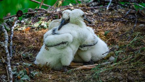 Zwei junge Störche in einem Nest