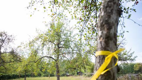 Das gelbe Band an einem Obstbaum im Odenwaldkreis bedeutet: Pflücken erlaubt.