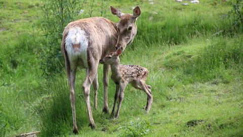 Buchara-Hirschen im Opel-Zoo