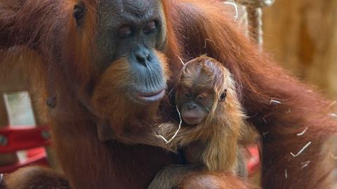 Die Orang-Utans haben Nachwuchs bekommen.
