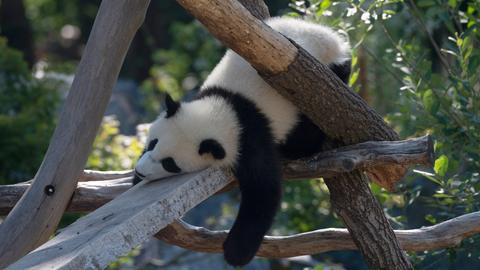 Panda pennt